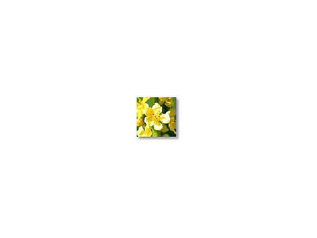 Agrimony   (aigremoine)     20ml