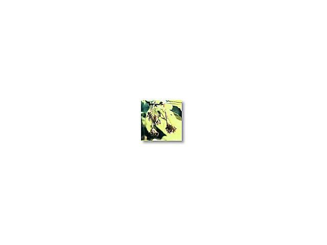 Beech      (hêtre)     20ml
