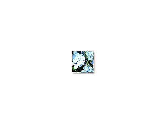 Cerato    (plumbago)    20ml