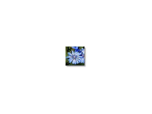 Chicory   (chicorée)    20ml