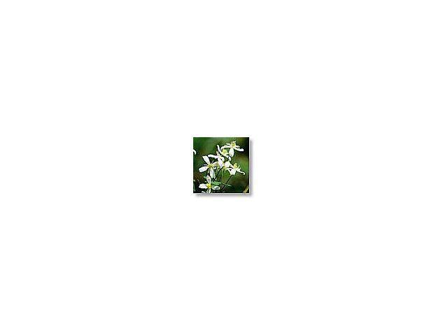 Clematis   (clématite)    20ml