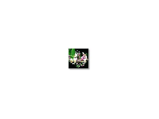 Honeysuckle     (chèvrefeuille)     20ml