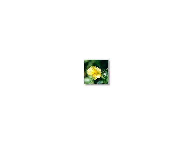 Rock rose   (hélianthème)     20ml