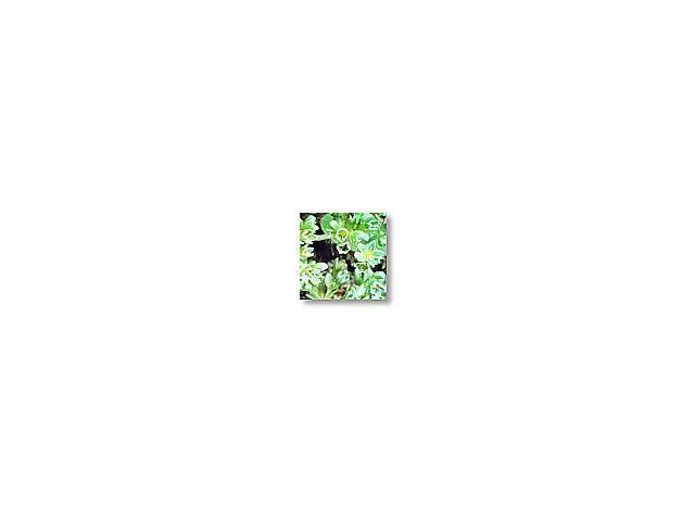 Scleranthus  (alène)    20ml