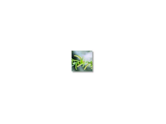 Willow   (saule)   20ml